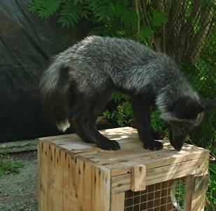科学家如何驯化狐狸