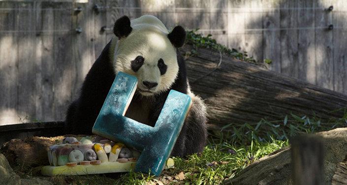 大熊貓「貝貝」慶祝在美國的最後一個生日並將很快前往中國