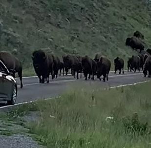游客自驾游黄石公园被野牛撞碎前挡风玻璃
