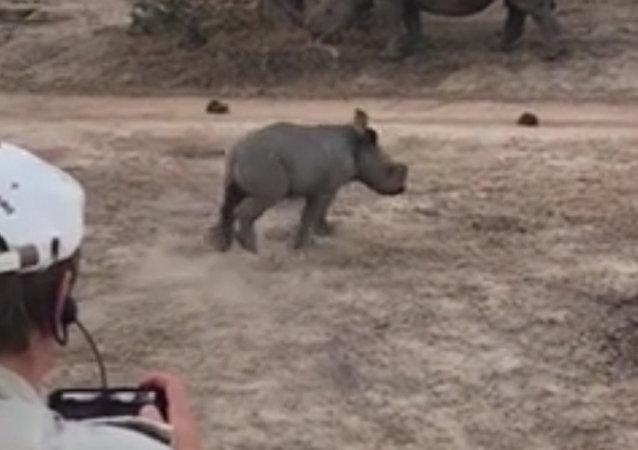 南非一头小犀牛险些撞坏游客乘坐的吉普车