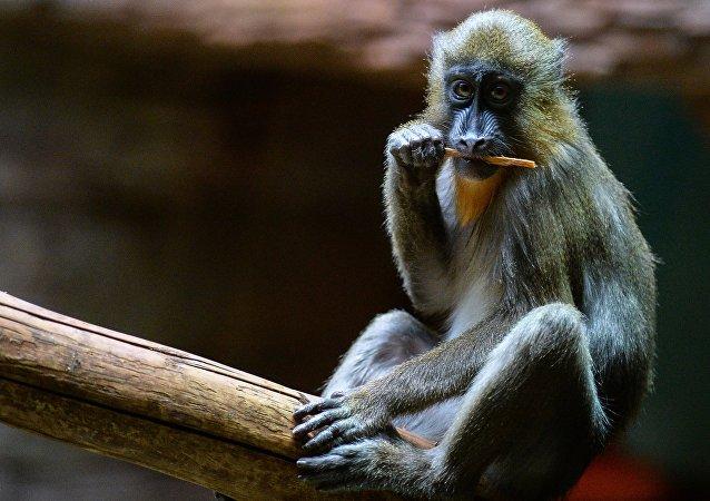 外媒:对中国猴子加征关税致美国医学研究遇阻