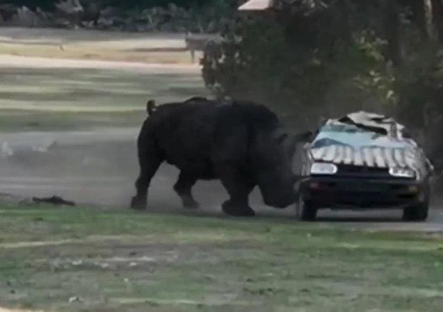 犀牛三次将载着动物园管理员的汽车弄翻