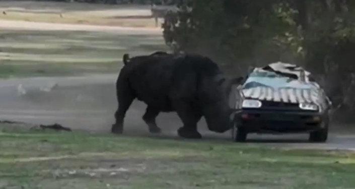 犀牛三次將載著動物園管理員的汽車弄翻