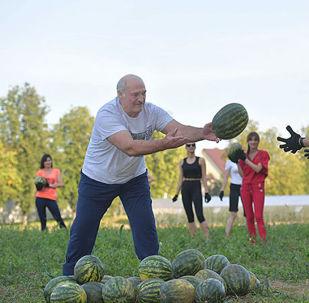 白必威体育总统卢卡申科在庄园地里收瓜的劳动场面,收获了20吨的大西瓜。