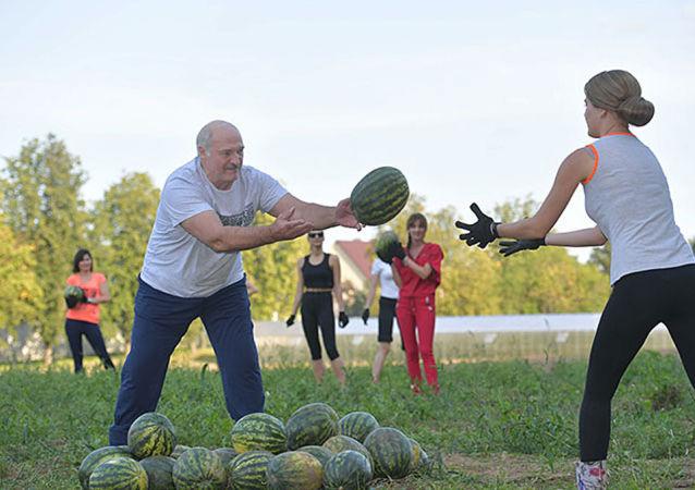 白俄罗斯总统卢卡申科在庄园地里收瓜的劳动场面,收获了20吨的大西瓜。