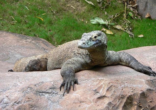 科莫多巨蜥