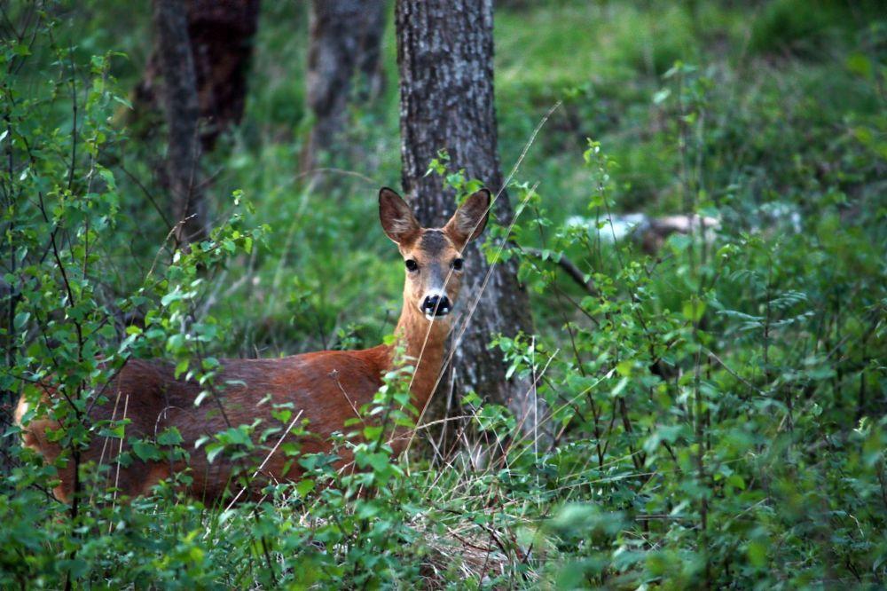 瑞典森林中的鹿