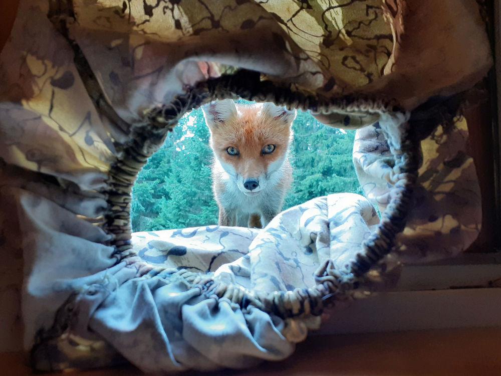 斯洛文尼亚拍摄到的狐狸