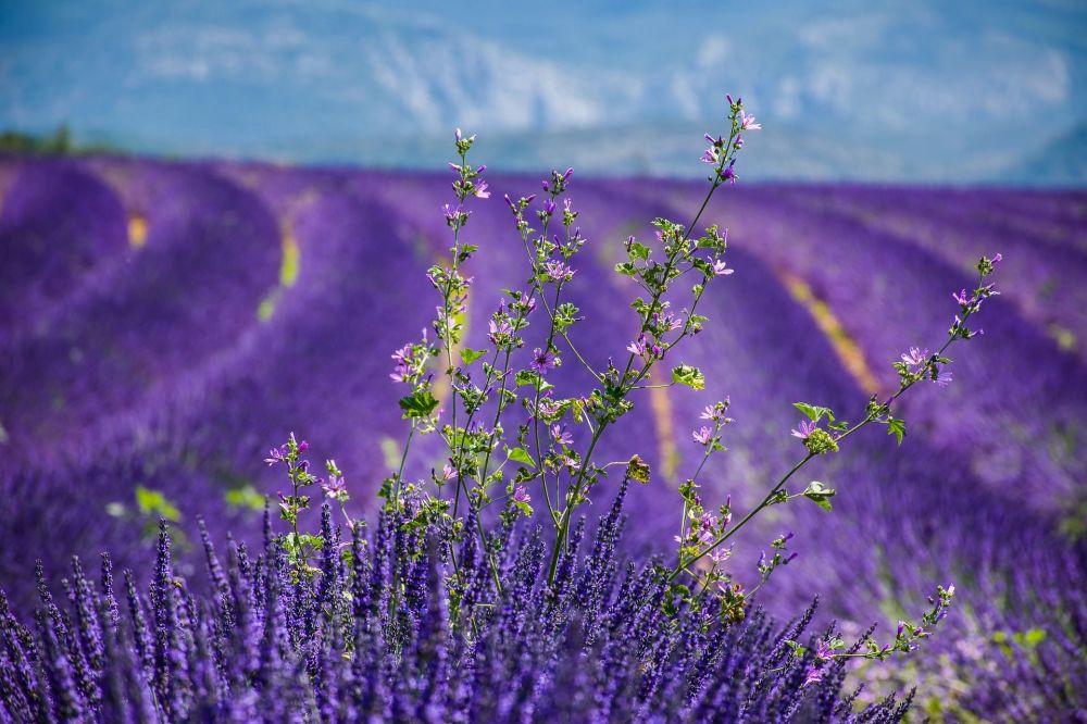 法国的薰衣草田