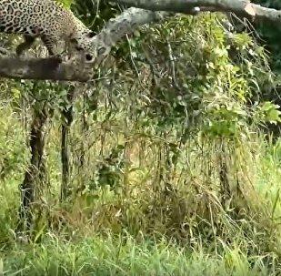 美洲豹从树上跳下咬死鳄鱼