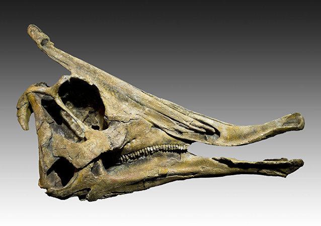 鸭嘴龙的颅骨