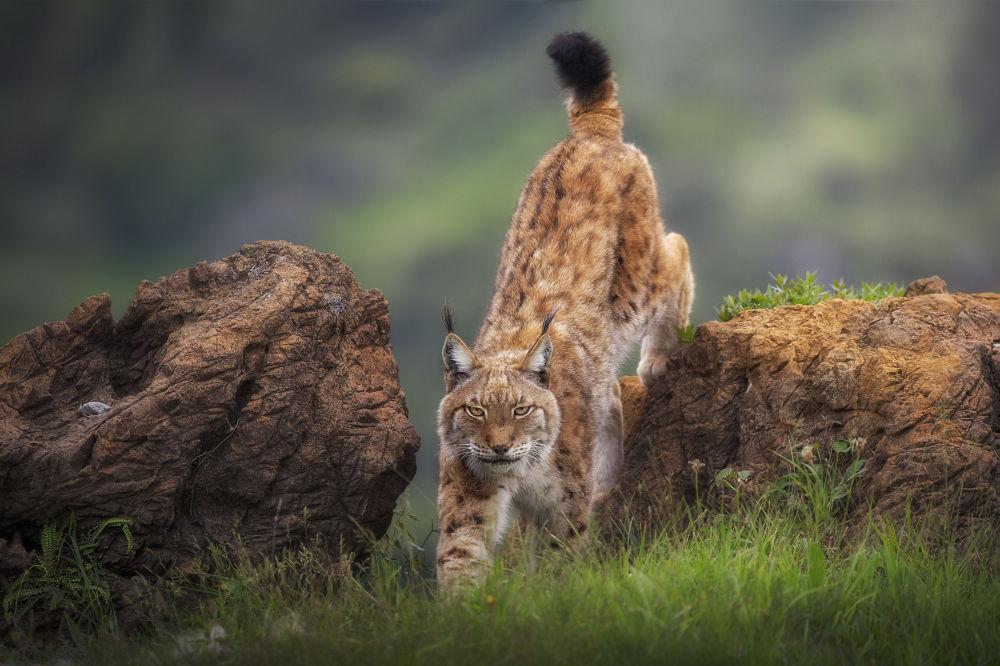 卡巴赛诺野生动物园的猞猁。作者:Sergio Saavedra(西班牙)。