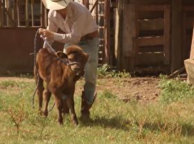 五条腿小牛犊与母亲团聚