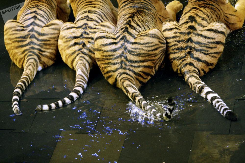 「扎巴什內兄弟馬戲團」 在「盧日尼基」體育館小型舞台上舉行有老虎參加的「薩特科」新年表演首映式