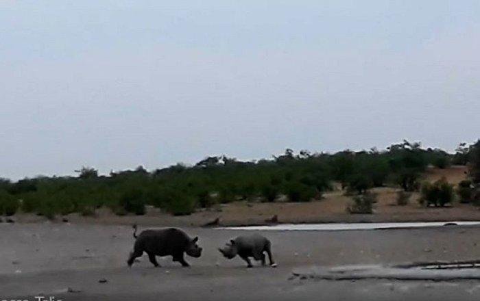 稀有犀牛打架的视频被拍下