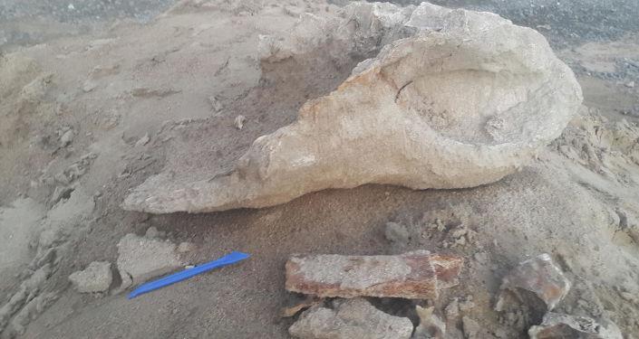 外貝加爾一名5歲小男孩發現史前犀牛的遺骨
