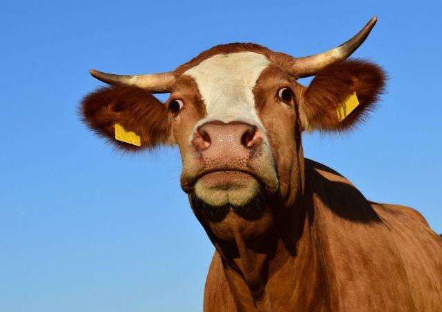 中企将在俄楚瓦什兴建奶牛场
