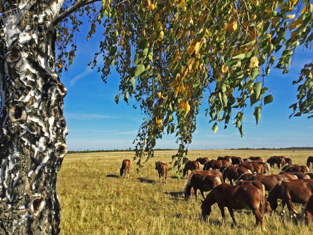 試驗農場在波列斯基輻射生態保護區放牧的馬匹