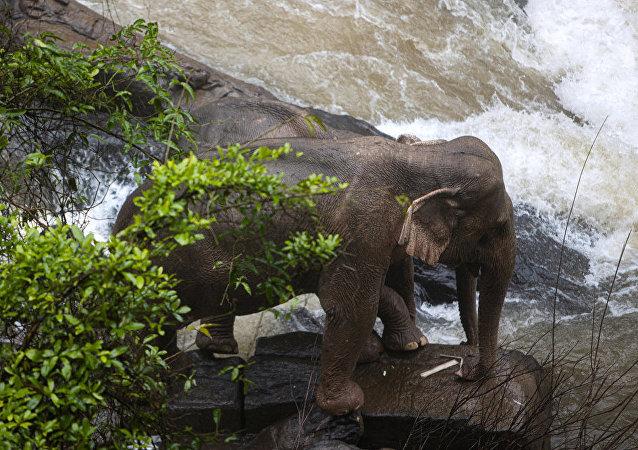 泰國又有5頭大象在試圖救小象時死亡