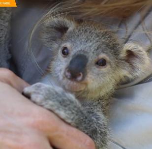 澳大利亚小考拉获救