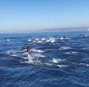 加州拍到海豚奔逃视频