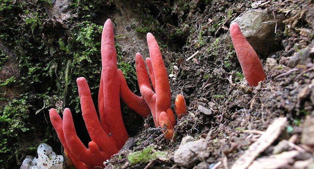 「鹿角蘑菇」(Podostroma cornu-damae )