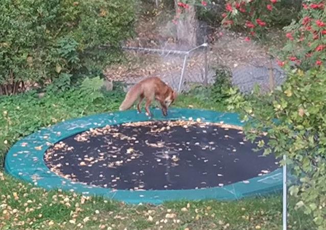 狐狸玩蹦床你見過嗎?
