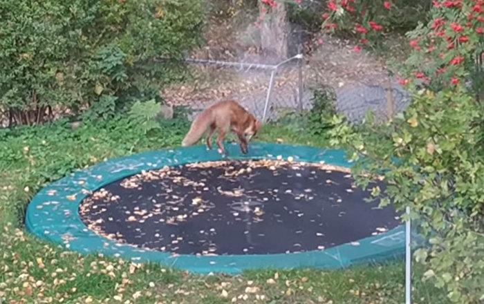 狐狸玩蹦床你见过吗?
