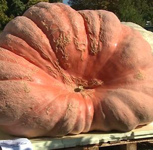 超过一吨重的南瓜