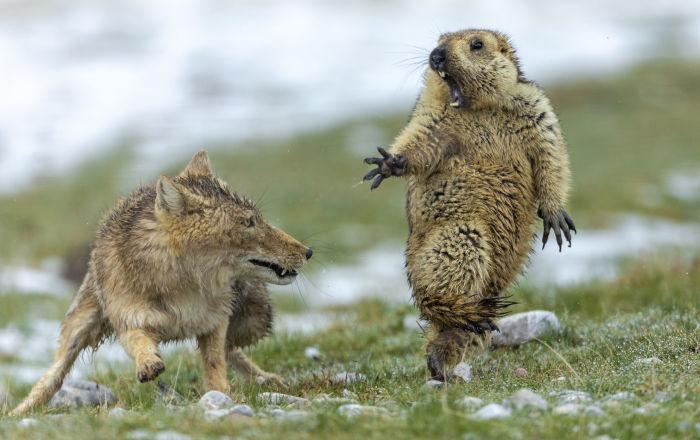 中国摄影师鲍永清的作品《生死对决》(英文名《瞬间》)获得2019年野生动物摄影师大赛冠军。