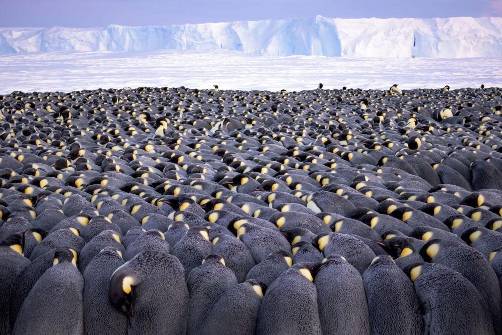 德国摄影师Stefan Christmann的作品《The huddle》获得大赛Wildlife Photographer of the Year Portfolio Award old类别冠军