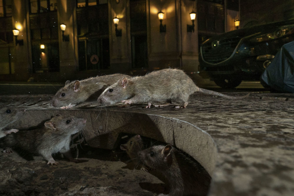 英国摄影师Charlie Hamilton James的作品《Charlie Hamilton James》获得 Urban Wildlife类别冠军