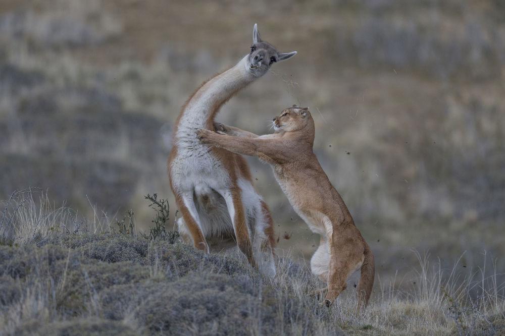 德国摄影师Ingo Arndt的作品《Equal match》获得 Behaviour: Mammals 类别冠军
