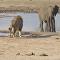 狮群撕碎小象并将其吃掉