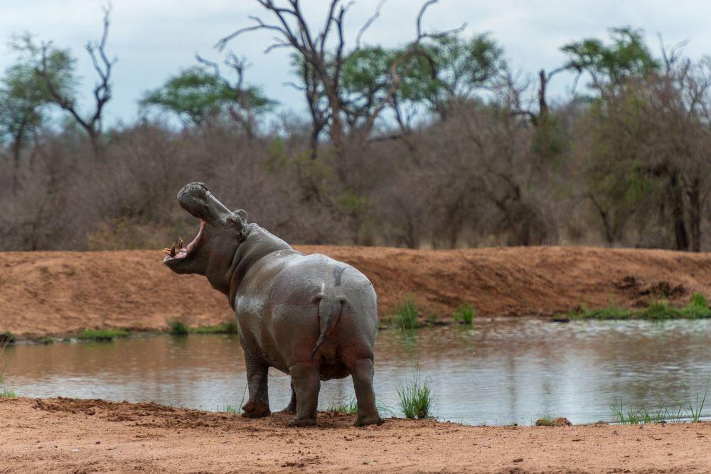 南部非洲斯威士兰王国公园里的河马