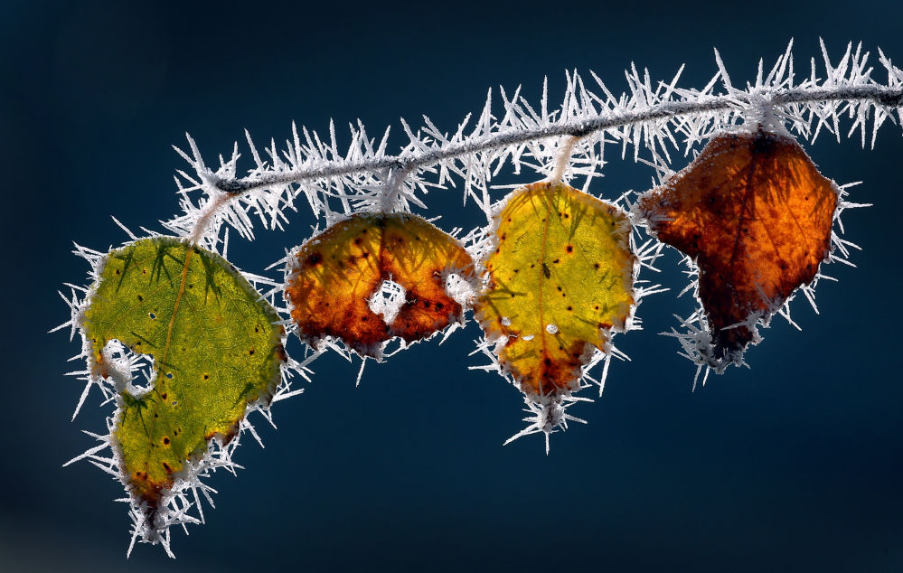 秋天的霜叶。