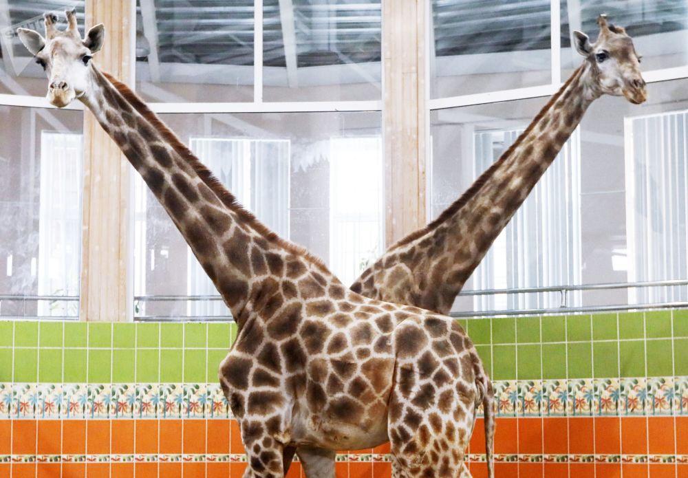 """克拉斯诺亚尔斯克""""罗耶夫小溪""""动植物公园的长颈鹿。"""