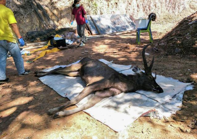 泰國一頭死鹿胃中發現7公斤塑料