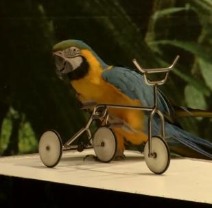 鸚鵡展示自己在雜技和語言方面的能力