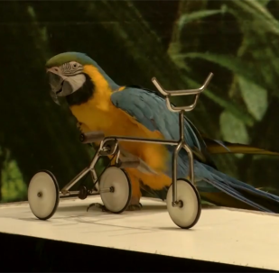 鹦鹉展示自己在杂技和语言方面的能力