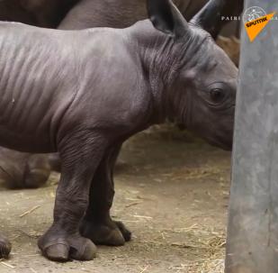 一只白犀牛出生在比利时动物园里