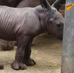 一隻白犀牛出生在比利時動物園裡
