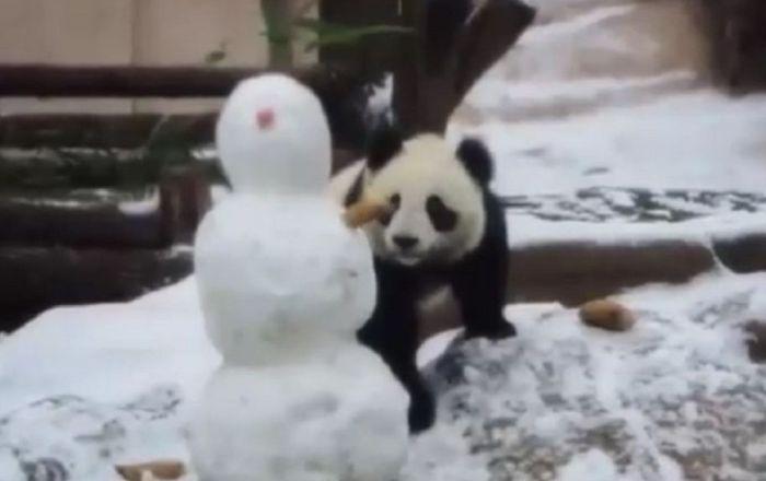 大熊貓「丁丁」親自演示「懲罰雪人指南」
