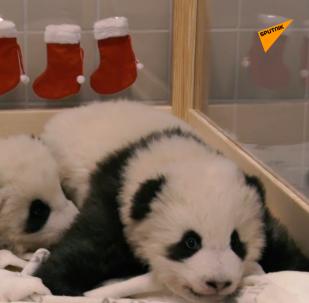 德國雙胞胎熊貓幼崽喜迎接聖尼古拉斯節