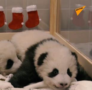 德国双胞胎熊猫幼崽喜迎接圣尼古拉斯节