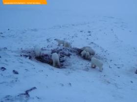 俄遠東村莊再度上演「熊出沒」