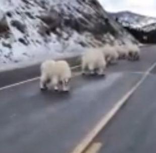 山羊上路致交通堵塞