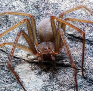 墨西哥发现新种毒蜘蛛 可致组织坏死