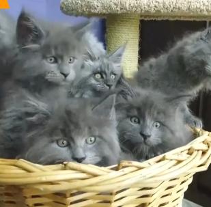 俄專家培育出「人臉」貓咪走紅網絡